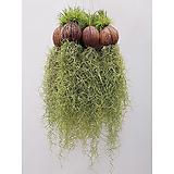 (5개세트) 코코넛 수염틸란드시아 행잉플랜트 에어플랜트 공중식물|Tillandsia
