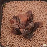 타이거피그마에아금 Haworthia pygmaea