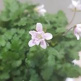 풍로초 흰색 핑크겹  묵은둥이|