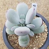방울복랑금무지8두군생 대형종|Cotyledon orbiculata cv variegated