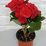♥꽃베고니아(색상랜덤)♥