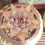 야생대화금|Echeveria purpusorum