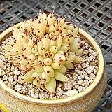 샤치철화(분포함)|Echeveria agavoides f.cristata Echeveria