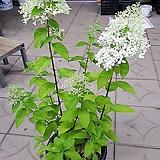 목수국/여름수국/화단/노지월동 Hydrangea macrophylla