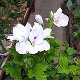 랜디제라늄(흰색) Geranium/Pelargonium
