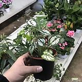 스노우박(공기정화식물)스노우박|