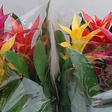 구즈마리아.(아나나스).체리.삼색꽃.상태굿.촉많아요..꽃수명 아주 길어요.공기정화식물.|Echeveria agavoides Maria