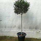 올리브나무 (토피어리)|