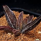 Adromischus 'Hemisphaericus'