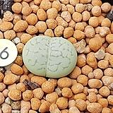 에메랄드반질리|Conophytum vanzylii