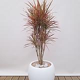 드라세나 레인보우 (시멘트원형완성분) 축하화분 인테리어식물 카페화분|Dracaena