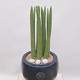 스투키 (검정원형완성분) 인테리어화분 공기정화식물 축하화분|Sansevieria Stuckyi