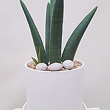 뿔스투키 (고급흰색원형완성분) 인테리어화분 공기정화식물 축하화분|Sansevieria Stuckyi