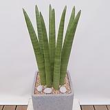 스투키 (시멘트사각분) 인테리어식물 공기정화식물|Sansevieria Stuckyi