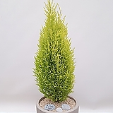 율마 (시멘트원형완성품) 공기정화식물 미세먼지식물|