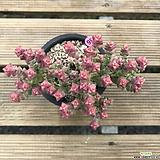 희성금/B36|Crassula Rupestris variegata