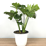 호프셀렘 / 셀렘 / 공기정화식물|
