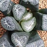만상 드래곤 Haworthia maughanii