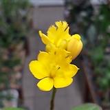 예삐(노랑)/미니덴드륨 