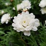 목마가렛흰겹(소품) Echeveria halbingeri