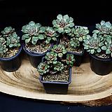 롱기시마 원종|Echeveria longissima