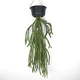 카리나타 / 석송 / 거꾸로자라는식물 / 에어플랜트 / 플랜테리어|
