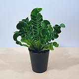 코브라아비스 / 양치식물 / 수입식물 / 플랜테리어|
