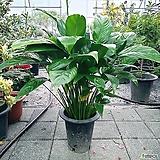 초대박특가~스파트필름(중대품) 공기정화식물|