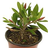 병솔나무 