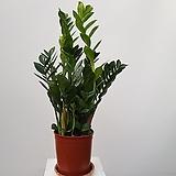 금전수(화분가득)특 Zamioculcas zamiifolia