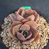 2516. 핑키|Echeveria cv Pinky