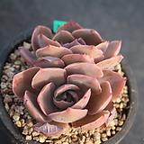 2517. 핑키|Echeveria cv Pinky