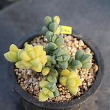 2540. 벽어연(금)|Corpuscularia lehmanni