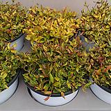 황금좀마삭.잎무늬.상태굿.고급종.|