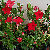 만데벨라,4개,빨강색꽃,햇빛보면 계속하여 꽃이핍니다.공기정화식물.|