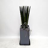 스투키 화분 실내공기정화식물|Sansevieria Stuckyi