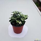 피어리윈드(공기정화식물)고급식물 대량주문연락주세요|