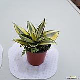 황금슈퍼바(골드)공기정화식물|