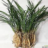 철골소심(6-7촉)/동양란/서양란/공기정화식물/식물/농장/난/나라아트 