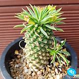 괴마옥 0546|Euphorbia hypogaea