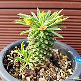 괴마옥 0547|Euphorbia hypogaea