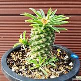 괴마옥 0548|Euphorbia hypogaea