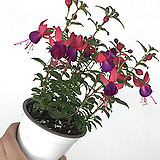 후쿠시아 / 후쿠샤 / 보라+빨강 꽃|