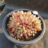 따글핑클루비109|Sedeveria pink rubby
