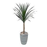 드라코 관엽식물 개업축하화분 인테리어식물 카페식물|