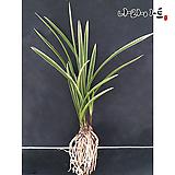 옥화금/난/동양란/공기정화식물/식물/나라아트 