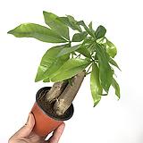 파키라 / 공기정화식물 / 미세먼지제거식물 / 플랜테리어|