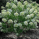 목수국 라임라이트(중품) 노지월동|Hydrangea macrophylla
