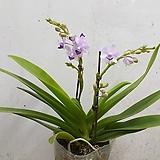 블루사파이어(꽃대2대) 
