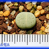 Emerald vanzylii 에메랄드반질리|Conophytum vanzylii